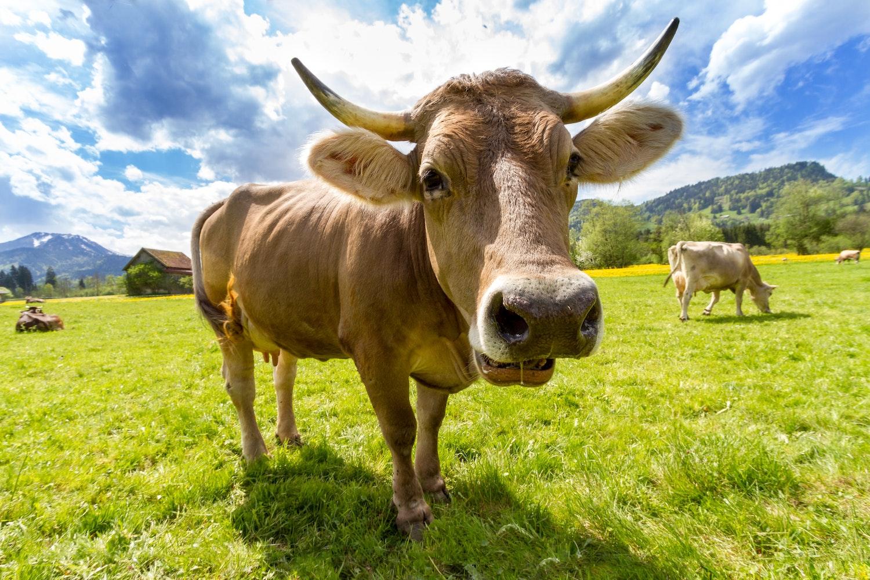 cow pictures pexels free stock photos