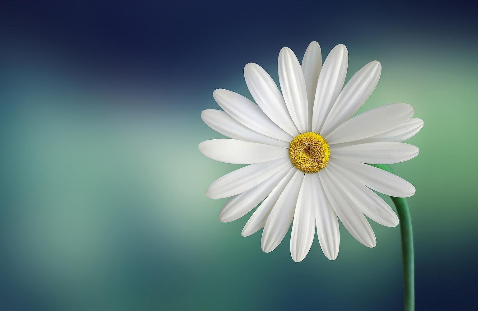 free stock photos of daisy pexels
