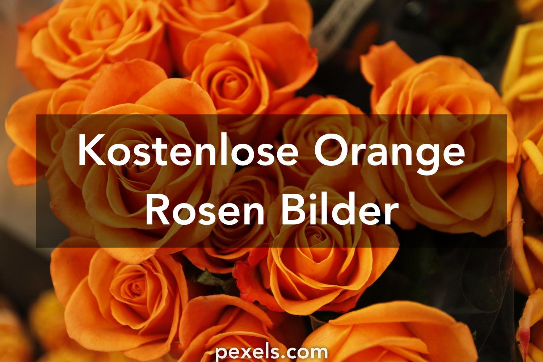 kostenlose bilder zum thema orange rosen pexels. Black Bedroom Furniture Sets. Home Design Ideas