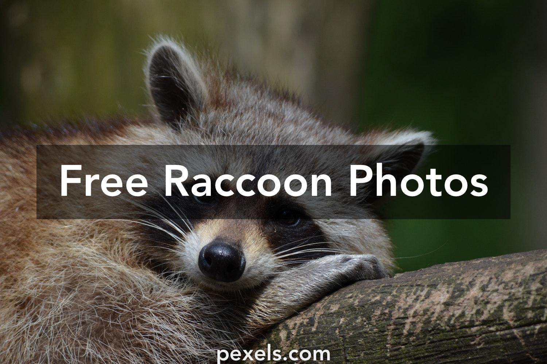 Free stock photos of raccoon · Pexels
