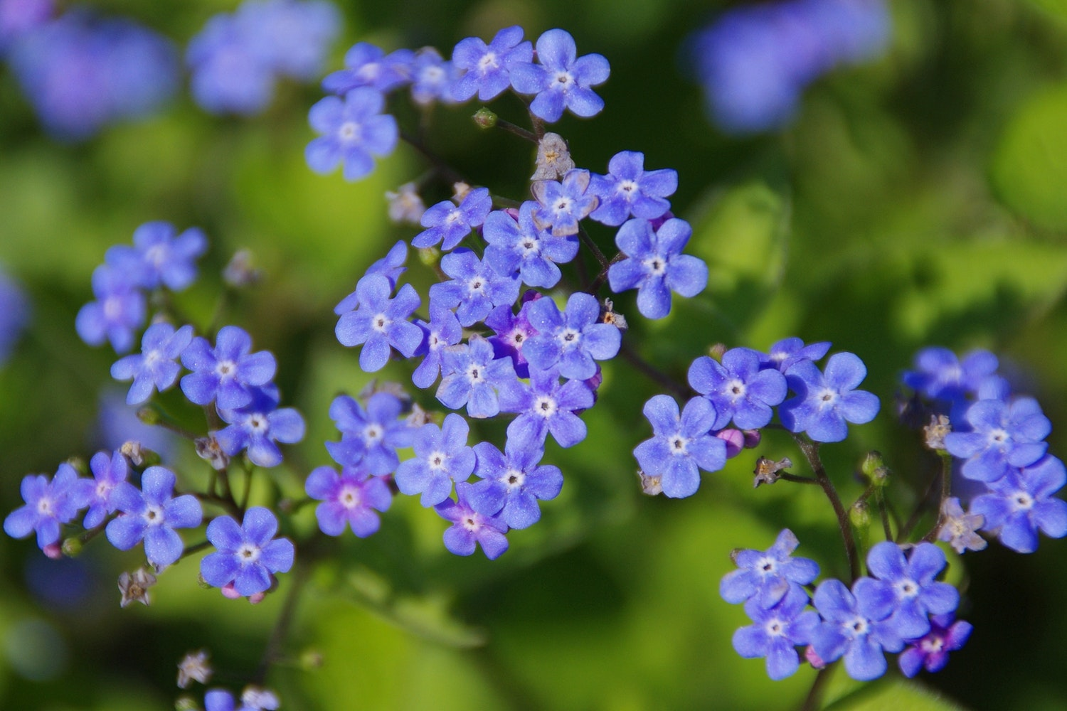 Free Stock Photos Of Forget Me Not 183 Pexels